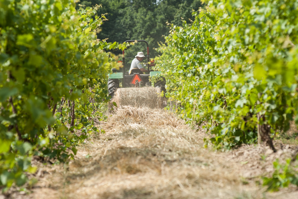 Image of tractor unrolling hay in row of vines.
