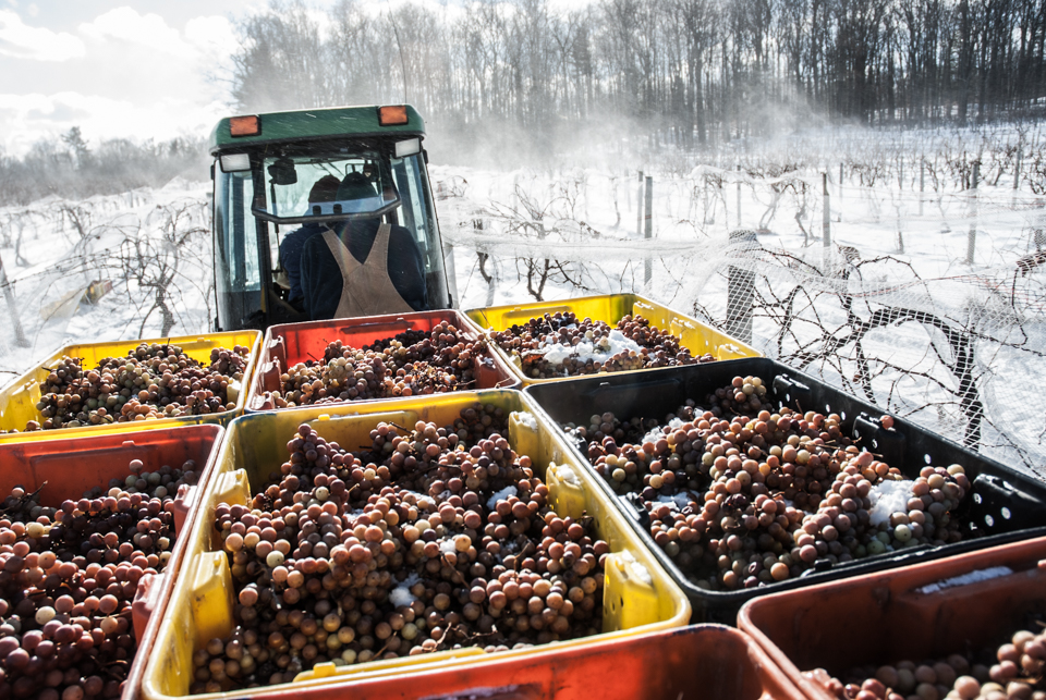 Boxes of ice wine grapes.