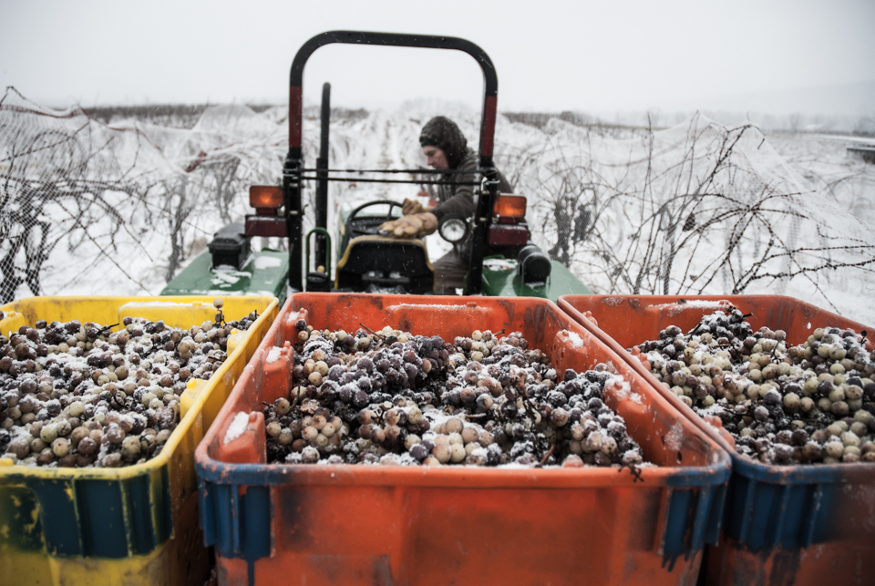 Climbing into tractor with ice wine grapes.