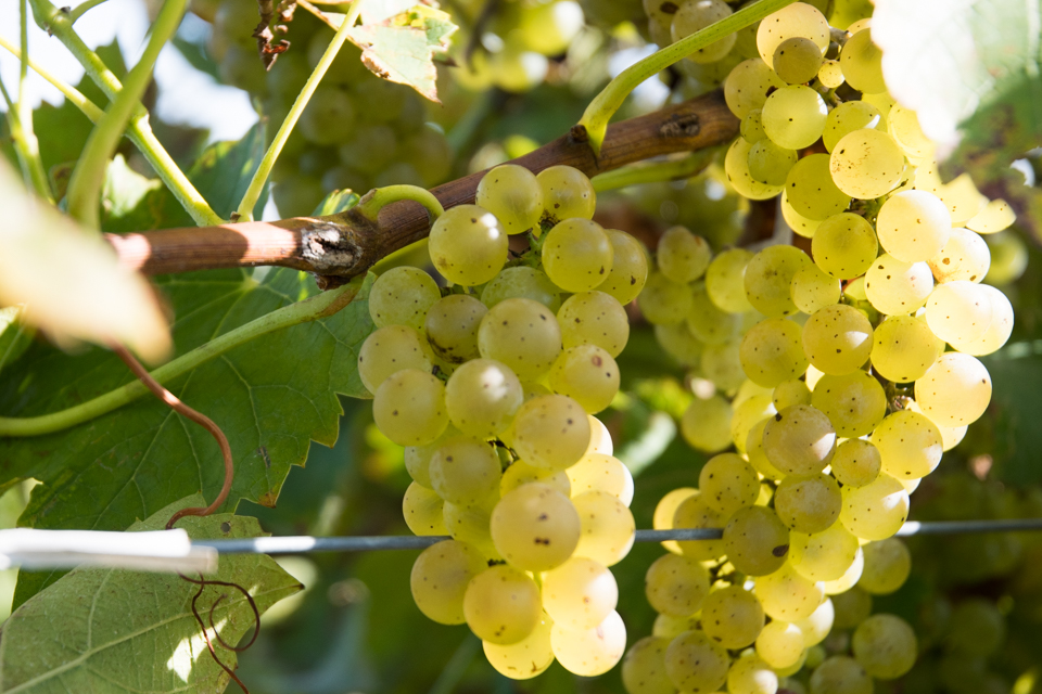 Image of grape on vine in sunlight.