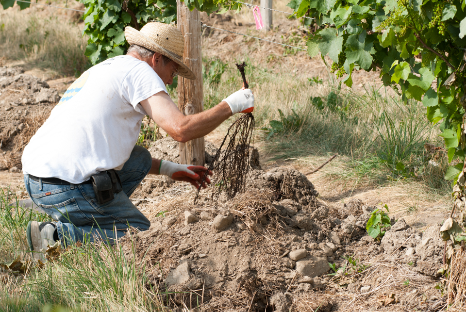 Planting grape vines.